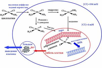 The study of platinum anticancer drugs